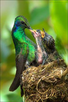 Hummingbird mom and babies. Kinds Of Birds, All Birds, Love Birds, Beautiful Birds, Animals Beautiful, Baby Animals, Cute Animals, Photo To Art, Mundo Animal