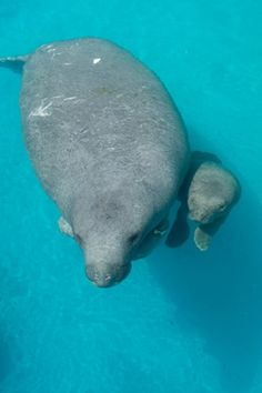 Rescued Manatee Gives Birth at SeaWorld Orlando | Inside Conservation Blog