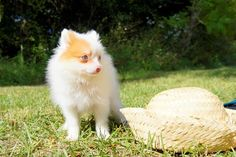 Anyone would love a Pomeranian puppy. He is an adorable and beautiful pup, who offers lots of love to his family. If  you want to adopt one, come to Florida Pups, a private puppy breeder in Florida.