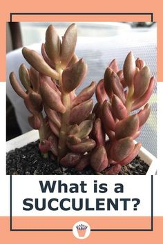 What Are Succulent Plants? Succulent is the term used to describe the abilities of certain plants to store water. Not all succulents are created equal, but they all have this property to a greater or lesser degree. One disadvantage of this type of water storage ability is that they have no defense against too much water. #drygardening #succulents #succulentcare Vertical Garden Plants, Vertical Garden Design, Outdoor Plants, Succulent Care, Succulent Plants, Planting Succulents, Types Of Succulents, Small Succulents, Overwintering