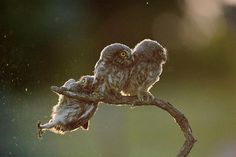 There are some seriously funny animal photos in this year's Comedy Wildlife Photography Awards competition! Baby Owls, Baby Animals, Funny Animals, Cute Animals, Funniest Animals, Funny Owls, Funny Minion, Wild Animals Pictures, Funny Animal Photos