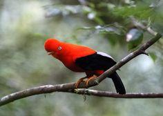 https://flic.kr/p/KAuFG3   Peru   Peru.Cock of the rock in Manu National Park.