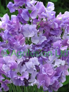 Sweet Pea Singing the Blues (Mix) Sweet Pea Flowers, Purple Flowers, Beautiful Flowers, Sweet Pea Seeds, Room With Plants, Climbing Vines, Growing Seeds, Garden Seeds, Belleza Natural