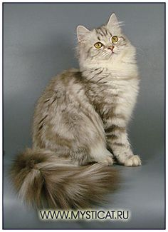 British longhair cat,chocolate silver classic tabby