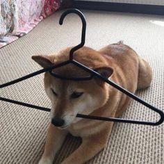 falling for ur personality Animals And Pets, Funny Animals, Cute Animals, Dog Icon, Animal Tracks, Cute Fox, Dog Barking, Shiba Inu, Akita