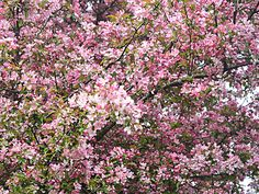 """Malus """"Makamik"""" Crabapple Tree Bloom: Spring Zone: 2a-7a Height: 3 m Spread: 4 m"""
