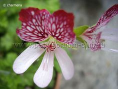 Pelargonium club   Eskay Saar