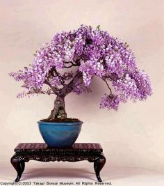 purple wisteria bonsai