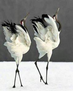 丹頂鶴 Red-Crowned Crane – Keep up with the times. Pretty Birds, Beautiful Birds, Animals Beautiful, Exotic Birds, Colorful Birds, Bird Pictures, Animal Pictures, Funny Bird, Animals And Pets