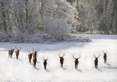 Roosevelt Elk. Oregon Coast range.