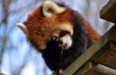Information about types of pandas that exist in the world. Not only that, you can find fun facts about giant pandas and red pandas too. Cute Little Animals, Cute Funny Animals, Cute Dogs, Cute Babies, Red Panda Cute, Panda Love, Types Of Pandas, Panda Mignon, Tier Fotos