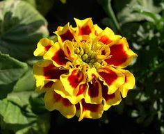 Flower Picture: Marigold Flower Wallpaper