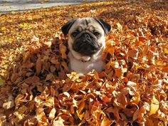 dog puppy fall autumn seasonal pug leaves changing leaves seasonal love