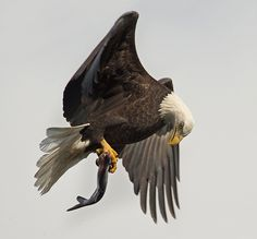 Photo of the Month - The Conowingo Bald Eagle - Topaz Labs Blog