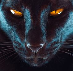 a creative photo of a black oriental shorthair cat Pretty Cats, Beautiful Cats, Animals Beautiful, Cute Animals, Siamese Cats, Cats And Kittens, Ragdoll Kittens, Tabby Cats, Funny Kittens
