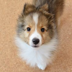 Sheep Dogs, Doggies, Pet Dogs, Dogs And Puppies, Dog Cat, Cute Dog Pictures, Dog Photos, Animal Pictures, Cute Funny Animals
