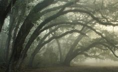 Curving Oaks in Fog by Lana Gramlich Narnia, Mazzy Star, Inheritance Cycle, Southern Gothic, Forest Fairy, Dark Forest, Our Lady, Cool Stuff, Faeries