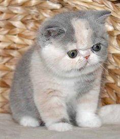 Exotic shorthair kittens - Omg.... he is so cute..