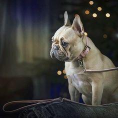 #frenchie french Bulldog #iamclowndog