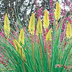 Kniphofia 'Pineapple Popsicle' (photo courtesy of Sunset Western Garden Collection)