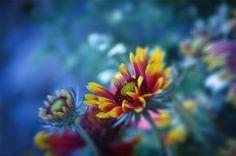 in My Garden - Cool June Morning - Indian Blanket Flower - Douglas Moorezart, c 2015