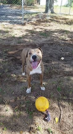 Akin is an adoptable Pit Bull Terrier searching for a forever family near Orlando, FL. Use Petfinder to find adoptable pets in your area.