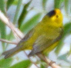 Wilson's Warbler - First ID'd 04/19/2015 in Poway, CA