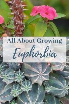 Euphorbia are a strange group of succulents often mistaken for cactus. They have strange forms, toxic sap and many have spikes! For all that, they are compelling and easy to grow. Learn all about the edgy euphorbia and how to grow it!  #succulents #succulentcare #euphorbia #euphorbiaplant #euphorbiacactus  #euphorbiasucculent
