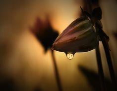 Pearly dew drop drops