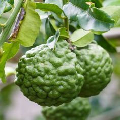 Kaffir Lime or Combava (Citrus hystrix) is native to the Indonesian archipelago.  Its intense flavor is reminiscent of lemongrass.  It is an essential ingredient in much SE Asian cuisine.