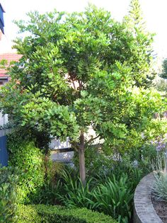Tuckeroo. This is a great all round evergreen tree, with flushes of bright glowing new growth through Spring and Summer. A medium sized tree ranging between 8-15m tall at maturity it forms a dense rounded shape and offers a lovely shade solution for gardens. It is a smart selection for a range of locations including coastal exposure, tropical heat and works well as a specimen tree, wind break and street tree.