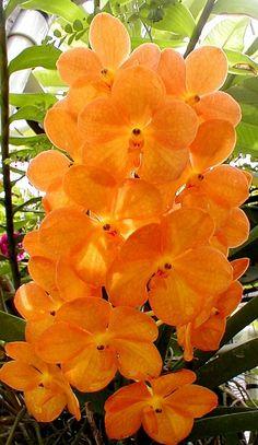 Orchid Suksamran