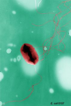 This is a colorized transmission electron micrograph of Escherichia coli O157:H7 showing flagella. Pseudoreplica technique. E. coli O157:H7 was first recognized as a cause of illness in 1982 during an outbreak of severe bloody diarrhea; the outbreak was traced to contaminated hamburgers. Since then, most infections have come from eating undercooked ground beef.
