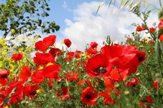 Kittike oldala - G-Portál Beautiful Nature Pictures, Beautiful Flowers, Spring Scenery, Paint Prep, Computer Wallpaper, Poppies, Grass, Mandala, Design Inspiration