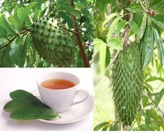 Soursop- prevents side effects of chemo