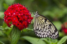 Paper kite butterfly  Ken Bohn / San Diego Zoo via AFP - Getty Images