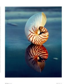 Tiger Nautilus Reflection by Ruth Burke