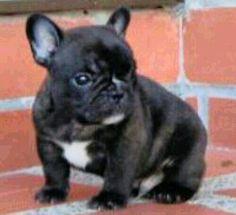 Ramona!!!  French bulldog