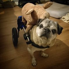 What do you mean 'there's a pig on that pug'?  #pug #pugs #pugsnotdrugs #puglife #pugstyle #pugstagram #puglover #pugnation #instapug #mopshond #oldpug #handicappedpets #wheelchairdog #walkingwheels #instadog #dogs #seniorpug