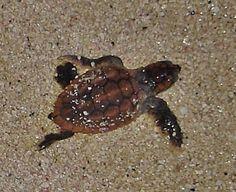 baby loggerhead sea turtle. CUTE!!!!!