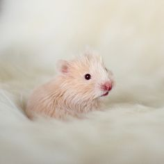 Cream Syrian hamster baby Rats, Baby Hamster, Syrian Hamster, Cute Hamsters, Cute Mouse, Little Critter, Tier Fotos, Cute Little Animals, Baby Puppies