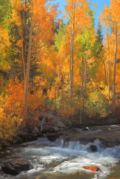 Bishop Creek Aspens -  Fall Color by Bill Edwards