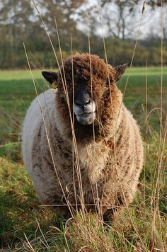 """Another pinner said """"'Small', one of my Ryeland ewes."""""""