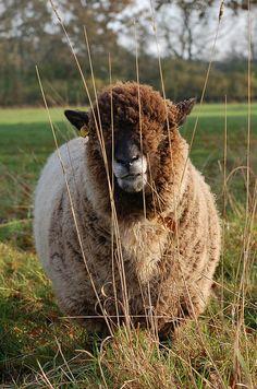 Ryeland ewe