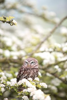 Download this free photo from Pexels at https://www.pexels.com/photo/brown-and-white-owl-on-tree-branch-beside-white-flowers-113802/ #bird #flowers #animal