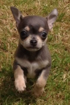How can anyone not love a chihuahua, especially when they have such a sweet innocent look as this?