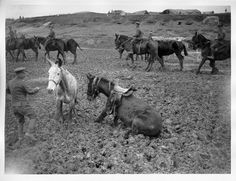 The Battle of the Somme 1 July-18 November 1916 Mules in the mud on the way to the watering-point.| First World War Poetry Digital Archive