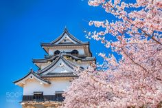 Popular on 500px : The cherry trees are in full blossom Japan by AOUEI