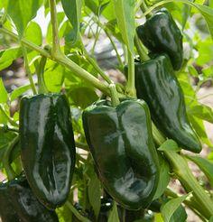 Tiburon Hybrid Poblano Hot Pepper