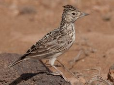 Raso Lark (Alauda razae) is a small passerine bird with a highly restricted range, being found only on Raso islet in the Cape Verde Islands. Monte Gordo, Loggerhead Turtle, Verde Island, Cape Verde, Skylark, Rare Birds, Natural Park, Small Island, Animaux